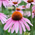 Echinacea: Immunity, Health & Performance