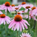 Echinacea: Immunity, Health & Performance